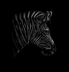 portrait of a zebra head on a black background vector image