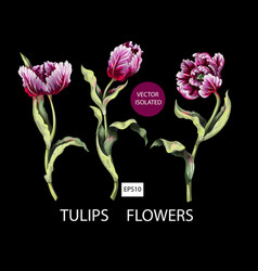 striped tulips isolated on black background vector image