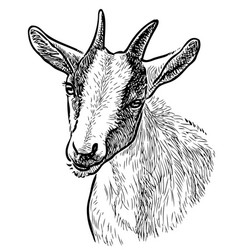 Freehand drawing head young goat vector