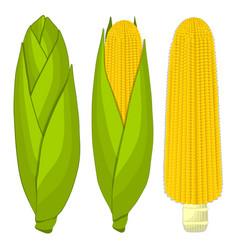 The corn vector
