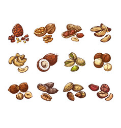 cartoon nuts and seeds hazelnut and coconut vector image