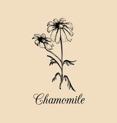 chamomile with leaves flowers vector image