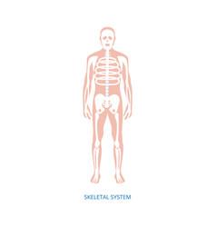 Human anatomy infographic depicting skeleton vector