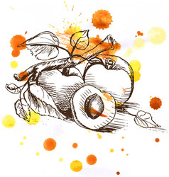 Sketch - apricot fruit vector