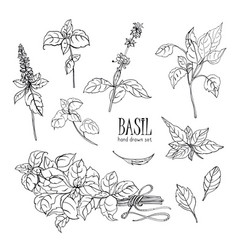 Set basil plant contour hand drawn collection vector