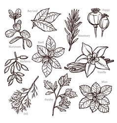 Sketch Herbs And Spice Collection vector image vector image