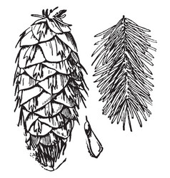 Douglas fir cone seed and foliage vintage vector