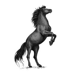 Rearing black horse sketch for equine sport design vector image