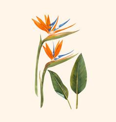 Watercolor strelitzia flowers vector