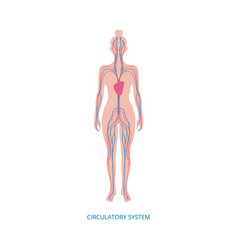 circulatory system - human anatomy diagram on vector image
