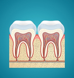 Two healthy human tooth in cutaway vector