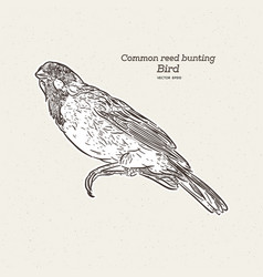 Common reed bunting bird hand draw sketch vector