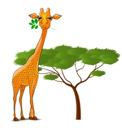 Giraffe eating leaves in Africa isolated vector