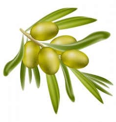 a branch of green olives vector image