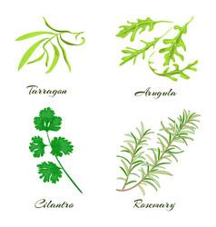 Herbs tarragon arugula cilantro or coriander vector