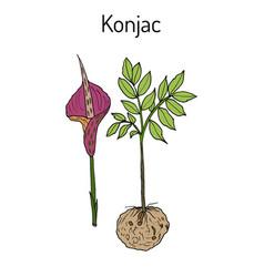 elephant yam or konjac plant konnyaku potato vector image