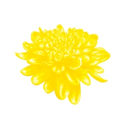 Yellow dahlia isolated on white background vector