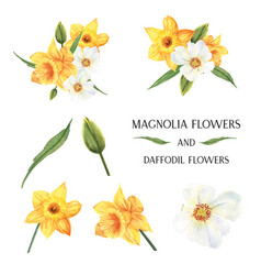 Yellow magnolia and daffodil flowers bouquets vector