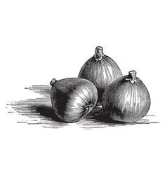 Black bourjassotte figs vintage vector
