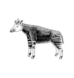 hand drawn okapi vector image