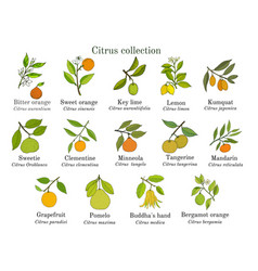 set of different citrus branches with fruits vector image