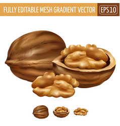 Walnut on white background vector