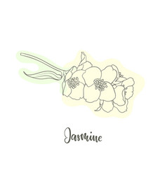 black and white branch flower jasmine outline vector image