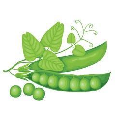 Realistic pods green peas tendril and leaves vector