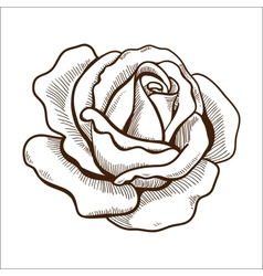 Rose flower isolated on white vector image vector image