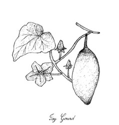 hand drawn of coccinia grandis fruits or ivy gourd vector image