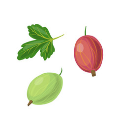 Leaf and gooseberry vector