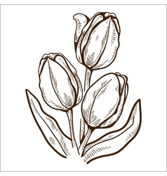 Tulip flower isolated on white vector image