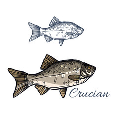 Crucian fish isolated sketch icon vector
