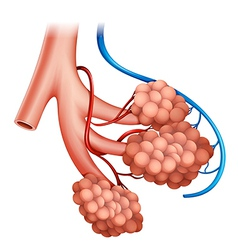 Human alveoli vector image