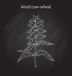 Wood cow-wheat night and day melampyrum nemorosum vector