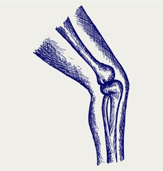 Human leg bones vector image vector image