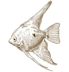 Engraving scalare angelfish vector
