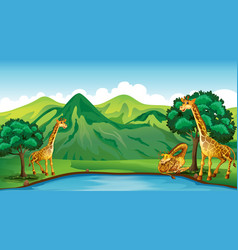 Three giraffes by the pond vector