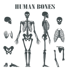 Human skeleton with different parts vector image