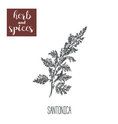 santonica sagebrush absinthe tarragon vector image