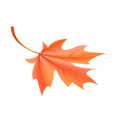 red autumn leaf fallen from maple tree vector image