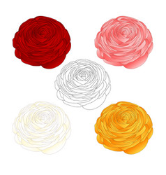 red pink white yellow ranunculus flower and vector image