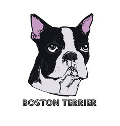 boston terrier dog face vector image