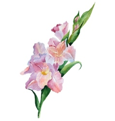 Gladiolus flowers watercolor vector