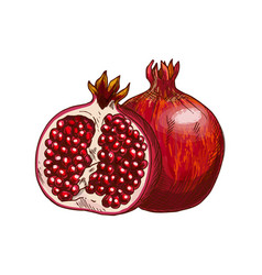 pomegranate fruit isolated sketch for food design vector image vector image