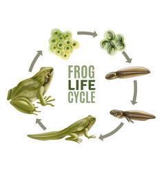 Frog life cycle set vector