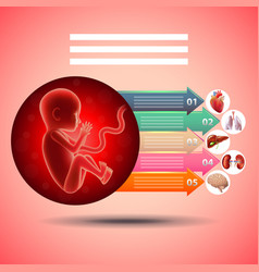 Pregnancy infographics fetus with organs vector