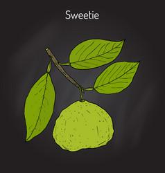 Sweetie citrus oroblanco fruit vector