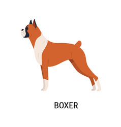 Boxer gorgeous docked and cropped dog with short vector