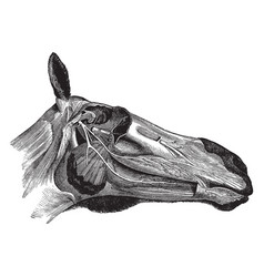 Head of a horse showing nerves vintage vector